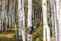 White birches Stock Photography