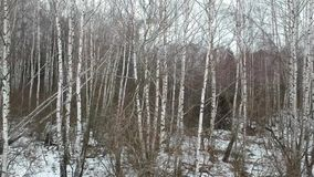 white birches in winter stock video footage