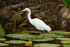 White Bird. A picture of a White Egret in Kakadu National Park Royalty Free Stock Photography