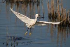White bird. Little Egret flying on a vegetated lake located on Cabedelo's Reserve in Vila Nova de Gaia, Porto, Portugal Stock Photography