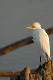 White Bird Royalty Free Stock Image
