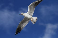Free White Bird Royalty Free Stock Image - 2370566