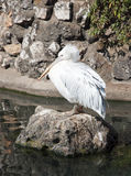 White bird. A white pelican bird is standing on stone in Kunming Zoo, Yunnan, China Stock Photography
