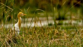 Cattle Egret in breeding plumage royalty free stock photos