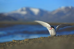 White bird with black cap, Arctic Tern, Sterna paradisaea, with Arctic landscape in background, Svalbard, Norway Royalty Free Stock Images