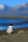 White bird with black cap, Arctic Tern, Sterna paradisaea, with Arctic landscape in background, Svalbard, Norway Stock Images