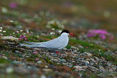 White bird with black cap, Arctic Tern, Sterna paradisaea, with Arctic landscape in background, Svalbard, Norway. Tern in the pink Stock Image