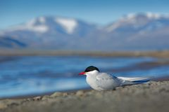 White bird with black cap, Arctic Tern, Sterna paradisaea, with Arctic landscape in background, Svalbard, Norway. royalty free stock photography