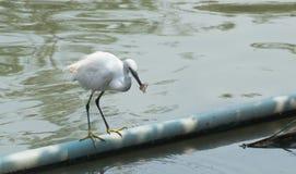 White bird catch and eat fish Stock Photo