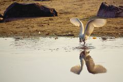 White bird catching fish in the seashore. Beautiful white heron spreading wings catches fish and reflecting in the water,Varna Black Sea Coast Bulgaria Stock Photos