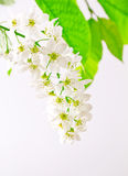 White bird cherry Royalty Free Stock Photography