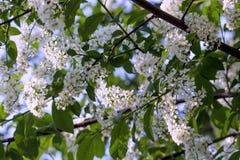 White bird cherry. Royalty Free Stock Photo