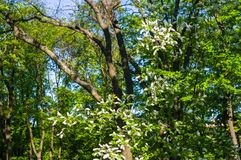 White bird cherry tree with green leaves under the summer sunlight. Blossoms white bird cherry tree with green leaves under the summer sunlight royalty free stock images