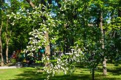 White bird cherry tree with green leaves under the summer sunlight. Blossoms white bird cherry tree with green leaves under the summer sunlight royalty free stock photo
