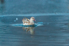 White bird on dark blue water, Danube DElta, Romania. Bird that is found in the fauna of Romania, specific color, the birds Royalty Free Stock Images