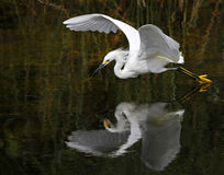 White Bird Diving on Body of Water during Daytime Stock Images