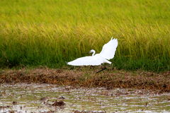 White bird. Egret fly over water and green field Royalty Free Stock Image