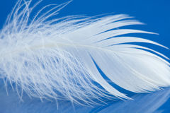 White bird feather macro view photo. Chicken plumage texture pattern on blue background. Shallow depth of field, soft Stock Images