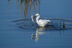 White bird fishing Royalty Free Stock Photos