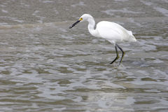White bird fishing Royalty Free Stock Photo