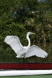 White bird flapping. White egret with spread wings standing on a wooden fishing boat Royalty Free Stock Photography