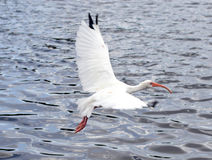 White bird in flight over water stock photo