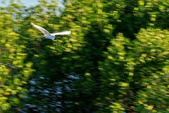 White Bird flying in blurred background Royalty Free Stock Photography