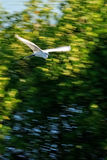 White Bird flying in blurred background Stock Photos