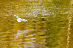 White bird flying over autumn colored lake. White bird gliding over a autumn colored lake reflection with wings spread Royalty Free Stock Images