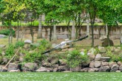 White bird is flying over the water. stock photos