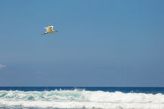 White bird flying over white waves Royalty Free Stock Images