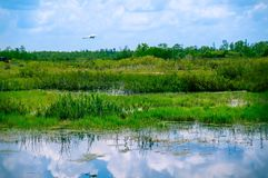 white bird flying in swamp stock image