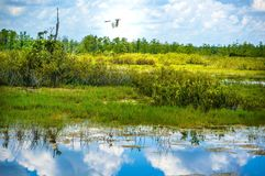 white bird flying in swamp stock photography
