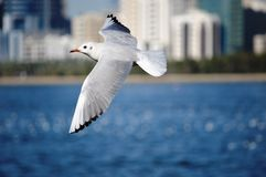 White Bird Flying on Top of Water Royalty Free Stock Photo