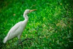 White Bird on Grass stock photos