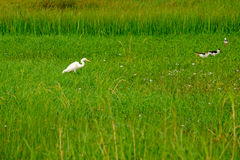 The white bird Great Egret. Ciconiiformes in green meadow field stock photos