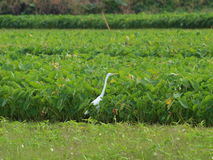 White Bird and green background. White Stork tries to wade through field of potatoes Royalty Free Stock Images