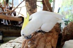 White bird having food. On wood branch Stock Photography