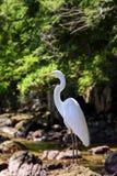 White bird. Heron resting on Aracatiba beach stones on the Big Island in Angra dos Reis Stock Photography