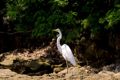 White bird. Heron resting on Aracatiba beach stones on the Big Island in Angra dos Reis Royalty Free Stock Images