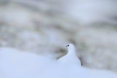 White bird hidden in white habitat. Art view of nature. Rock Ptarmigan, Lagopus mutus, white bird sitting on the snow, Norway. Col. White bird hidden in white Stock Photos