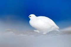 White bird hidden in white habitat, dark blue sea. Art view of nature. Rock Ptarmigan, Lagopus mutus, white bird sitting on the sn Royalty Free Stock Photography