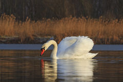 White Bird on the lake on a sunny day Stock Photos