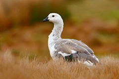 White bird with long neck. White goose in the grass. White bird in the green grass. Goose in the grass. Wild white Upland goose, C Stock Photo