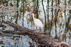 White bird with long red beak in Brazos Bend State Park near Houston,  Texas. White bird with long red beak in Brazos Bend State Park near Houston, Texas Royalty Free Stock Photos