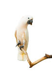 White bird macaws Royalty Free Stock Photography