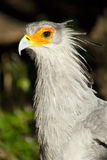 White bird with orange around eyes Royalty Free Stock Images