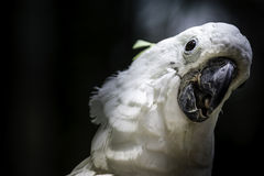 White bird parrot cockatoo head Royalty Free Stock Photo