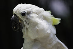 White bird parrot cockatoo head Royalty Free Stock Photos