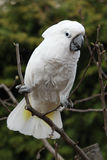 White bird parrot cockatoo on tree Royalty Free Stock Photos